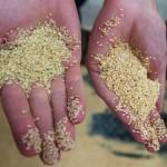 Usine Simsim - Comparaison Graines Cuites/Crues