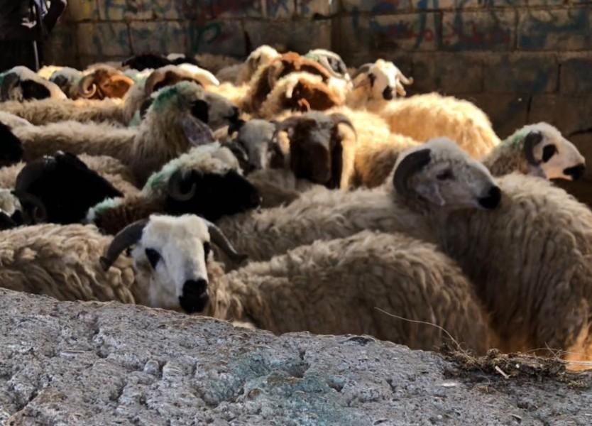 Des moutons pour revivre après Daech !